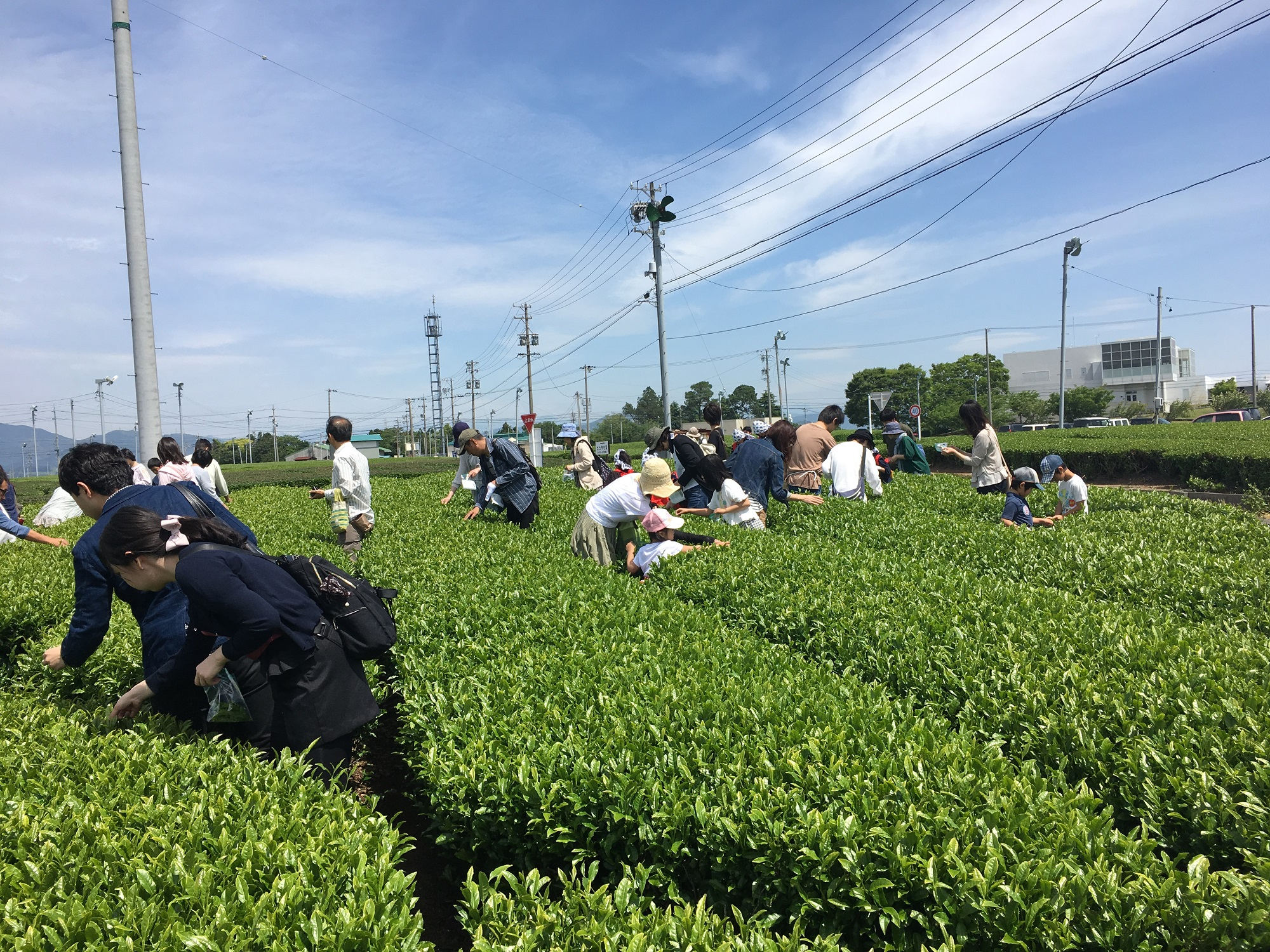 茶の都🍵茶摘み体験